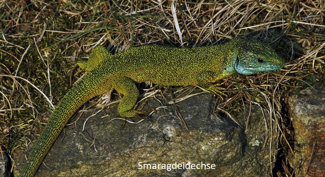 Emerald - emerald lizard in the vineyard