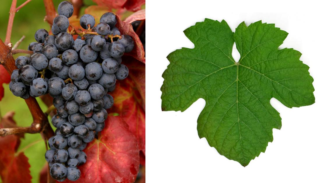 Touriga Nacional - grape and leaf