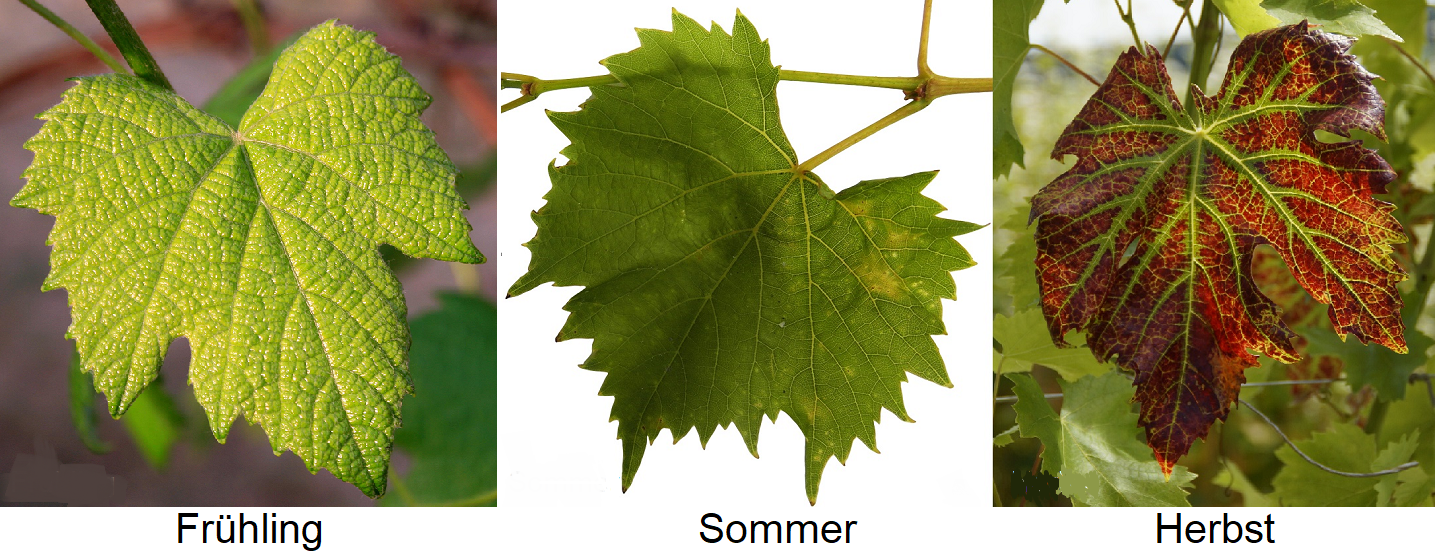 Leaf - spring, summer, autumn