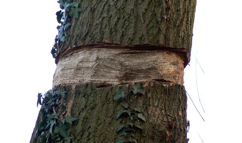 Ringeln - tree trunk