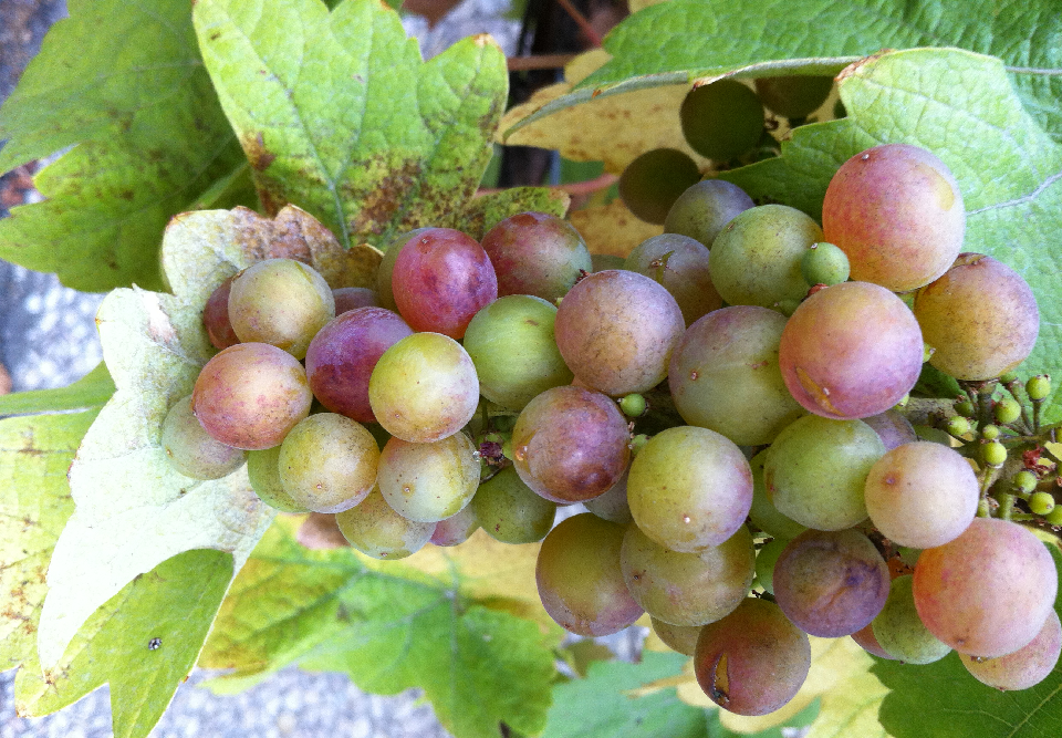 Small-sweetness - Grape with very small, stunted berries