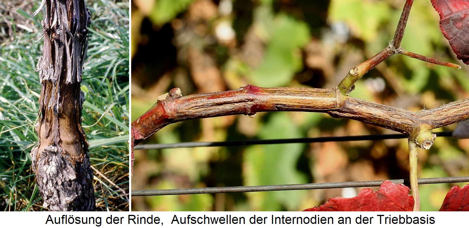 Rugose Wood Complex - Rind dissolution and swelling of the shoots on the internodes