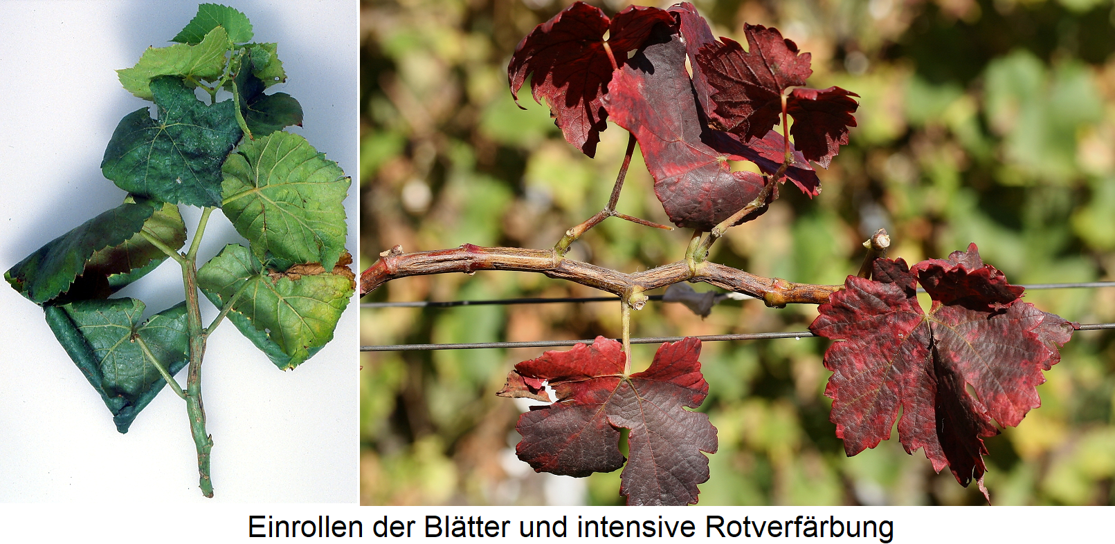 Rugose Wood Complex - Symptoms Leaves with curl and red color
