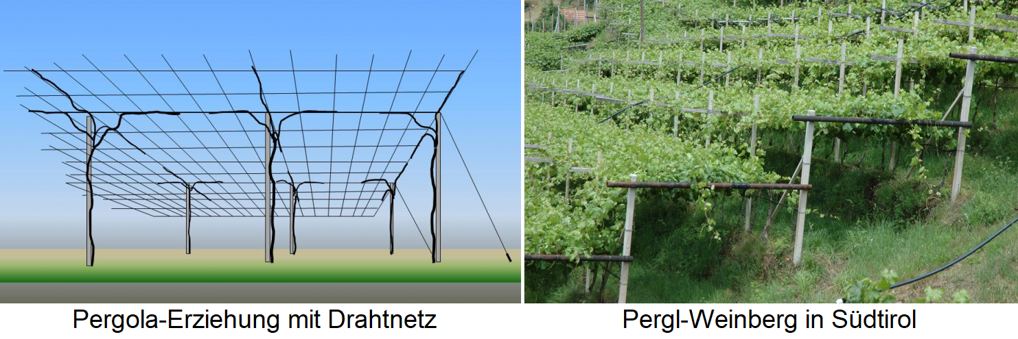 Pergola education with wire mesh / Pergl vineyard in South Tyrol