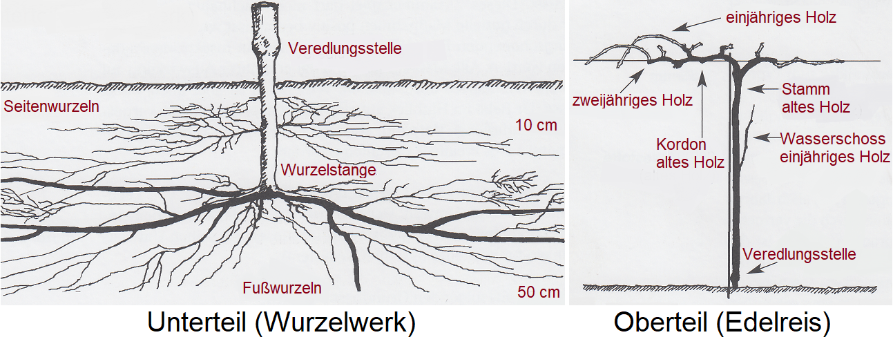 Lower part (root system) and upper part (noble rice)