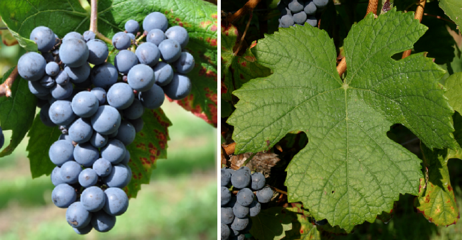 Blue Räuschling - grape and leaf