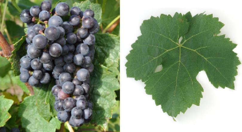 Blue Heunisch - grape and leaf