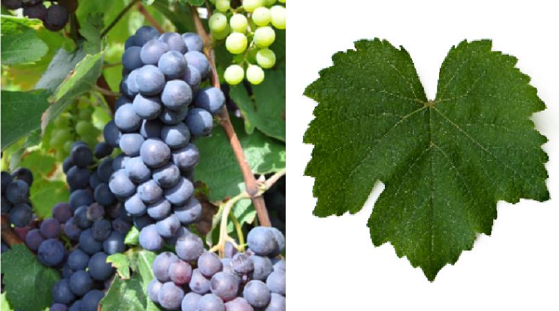 Black Heunisch - grape and leaf