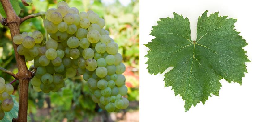 Seedless Heunisch - grape and leaf