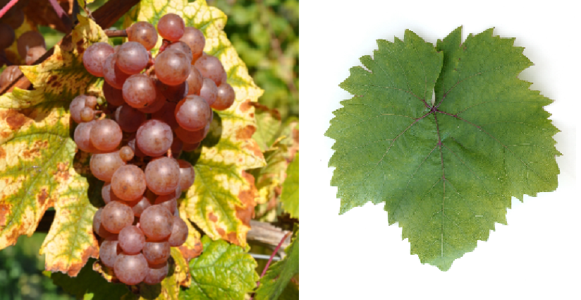 Tricolor Heunisch - grape and leaf