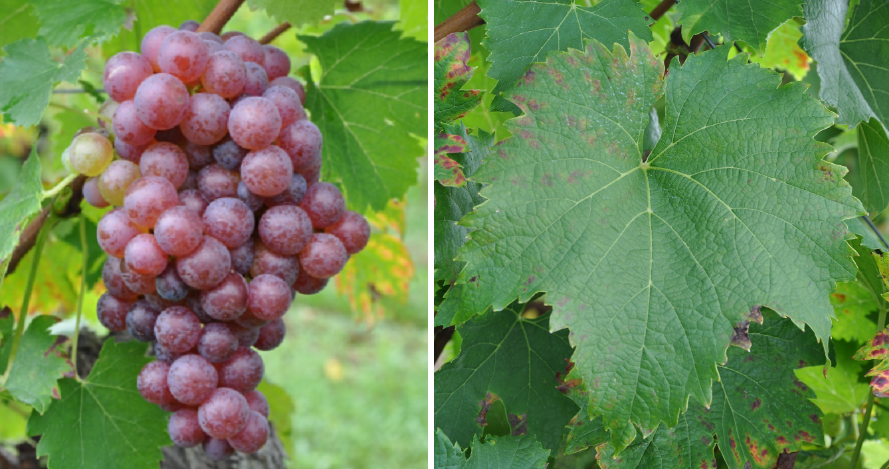 Red Heunisch - grape and leaf