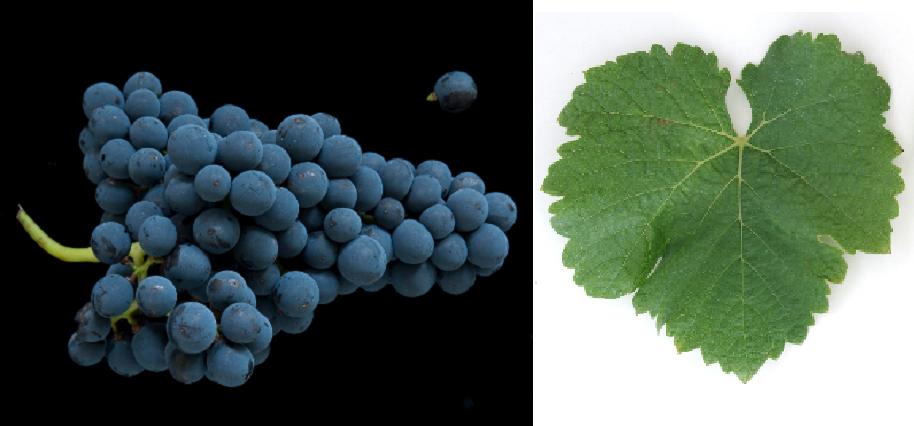 Feridac - Weintraube und Blatt