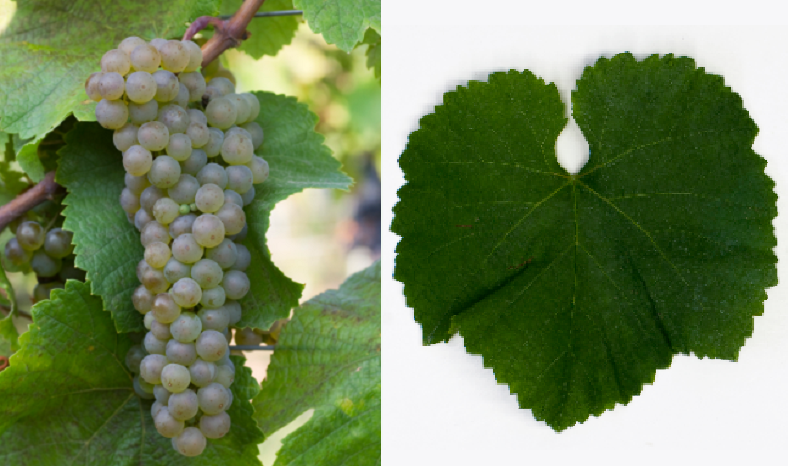 Erilon - grape and leaf