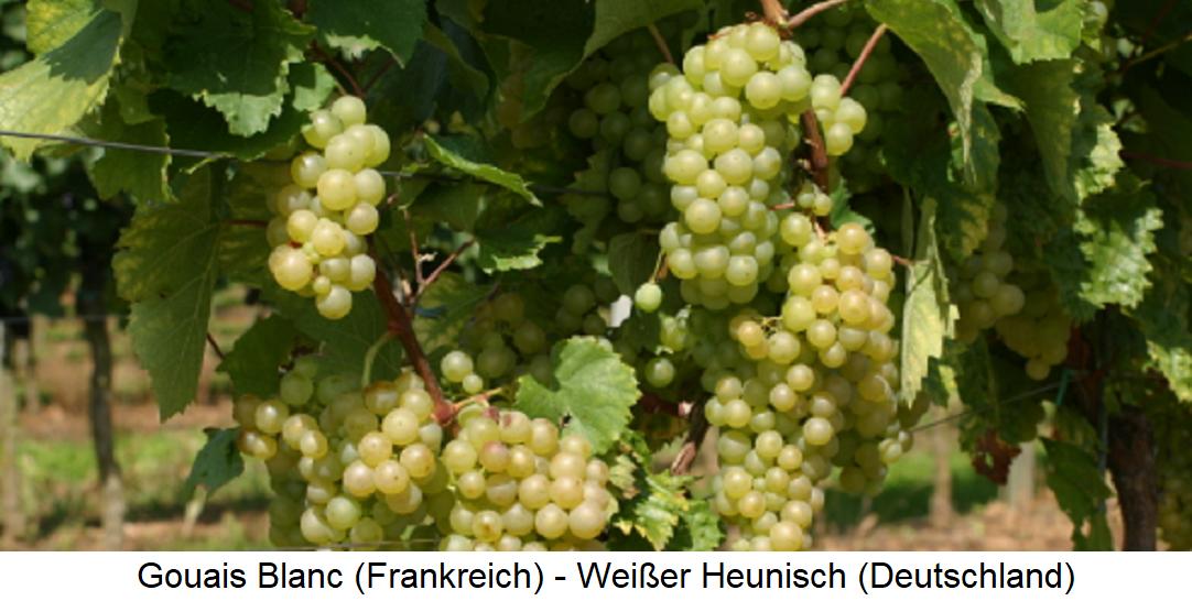 Gouais Blanc / Weißer Heunisch - Weingarten