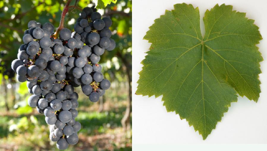 Acolon - grape and leaf