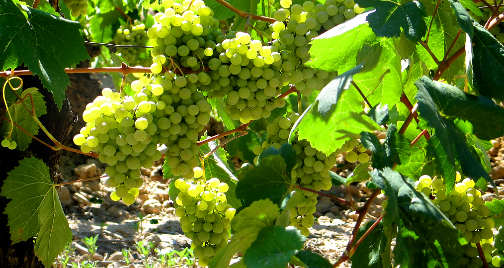Parellade - vineyard with grapes