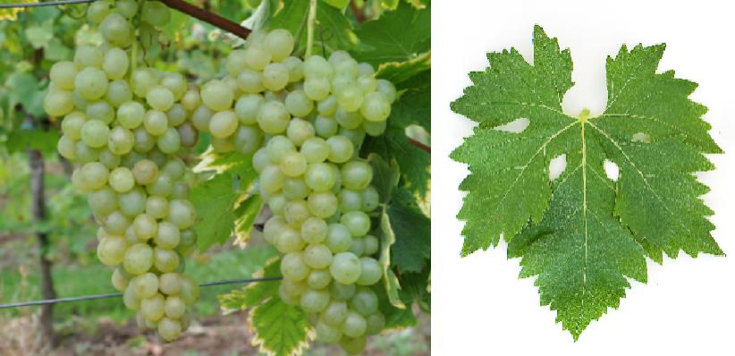 White spirit - grape and leaf