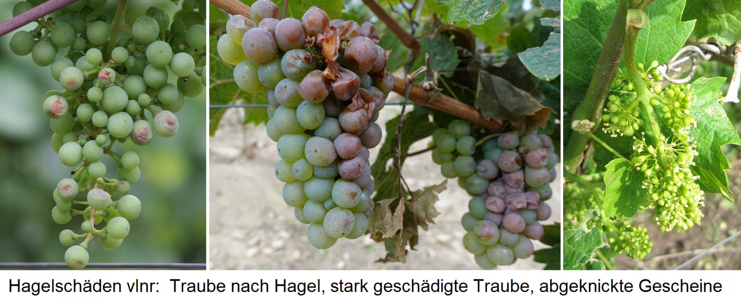 Hail damage from left to right: grape after hail, badly damaged grape, kinked bones