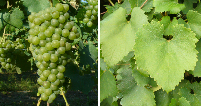 Verdese - grape and leaf