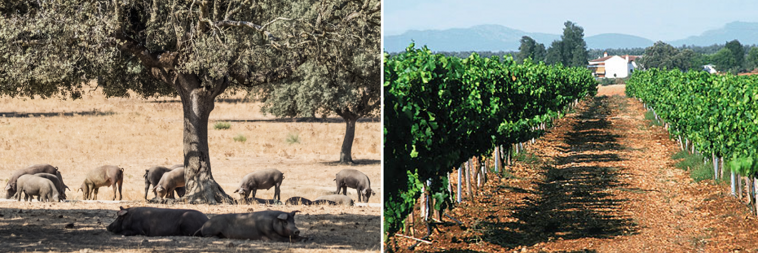 Extremadura - pigs in oak forests and vineyards