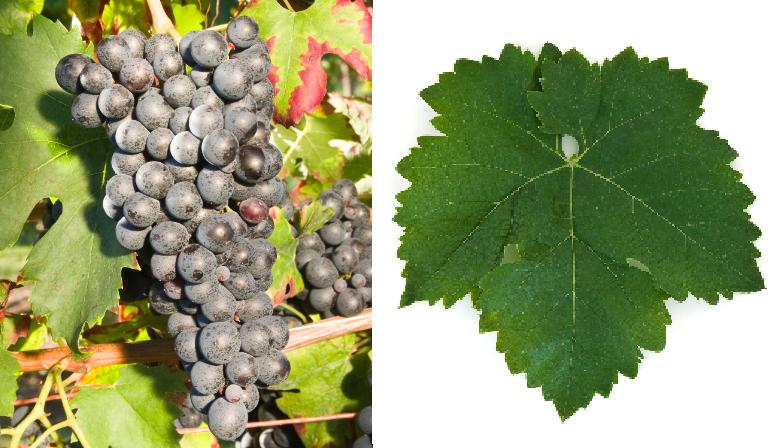 Robin Noir - grape and leaf