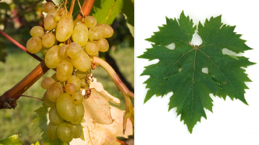 Centennial - grape and leaf