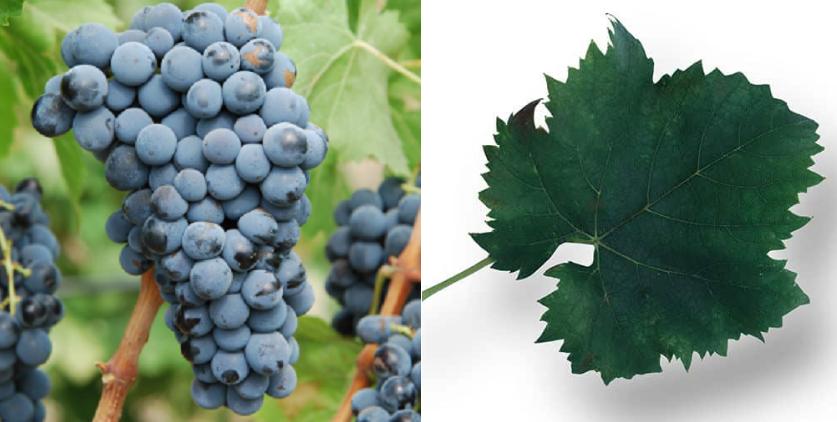 Nerello cappuccio - grape and leaf