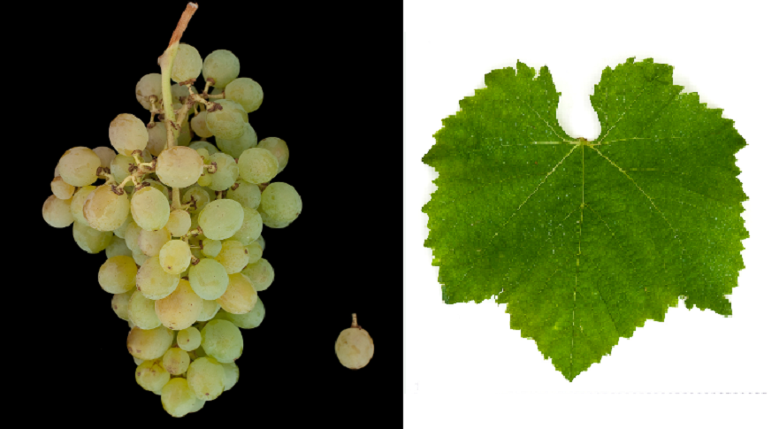 Dorinto - grape and leaf
