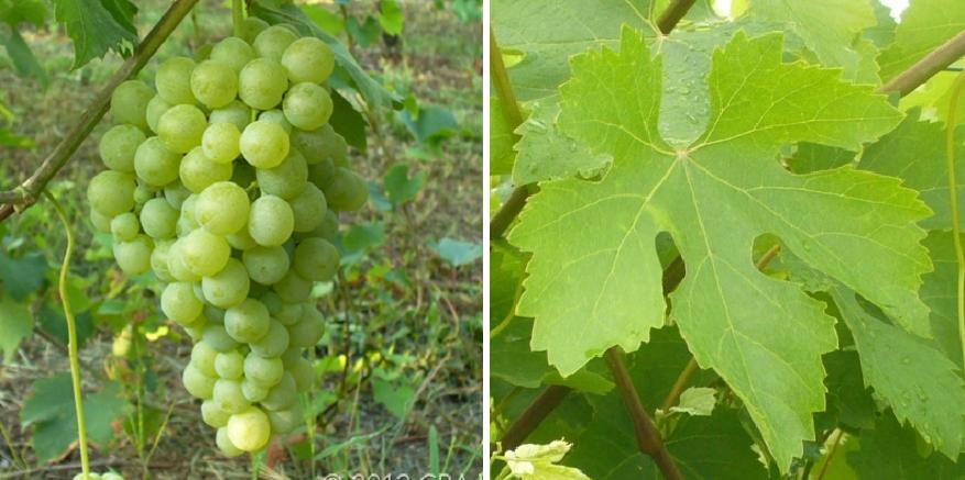Biancolella - grape and leaf