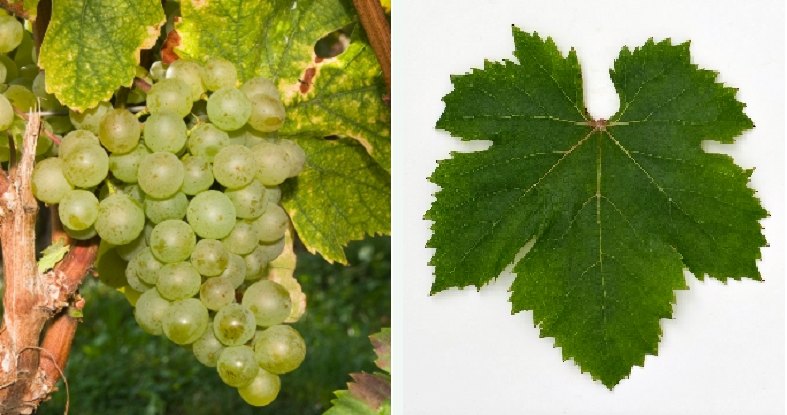 Hasandede Beyazi - grape and leaf