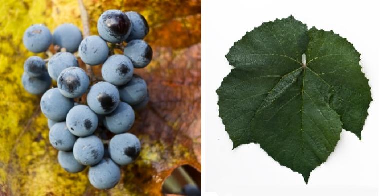 Zilga - grape and leaf