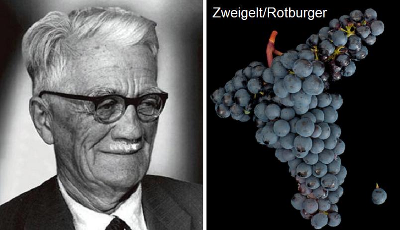 Zweigelt Fritz - portrait and grape variety Zweigelt