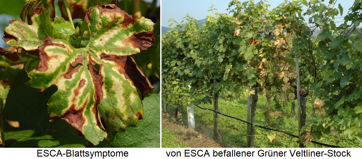 ESCA and Petri disease - leaf symptoms and infected Grüner Veltliner stick