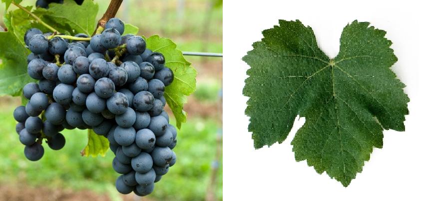 Affenthaler - grape and leaf