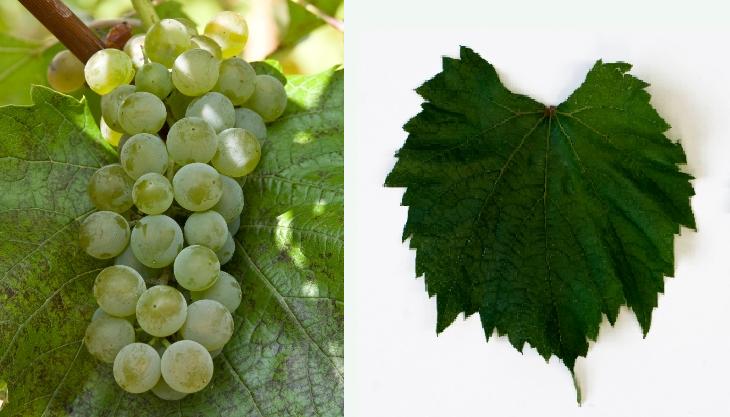 Muscat Swenson - grape and leaf