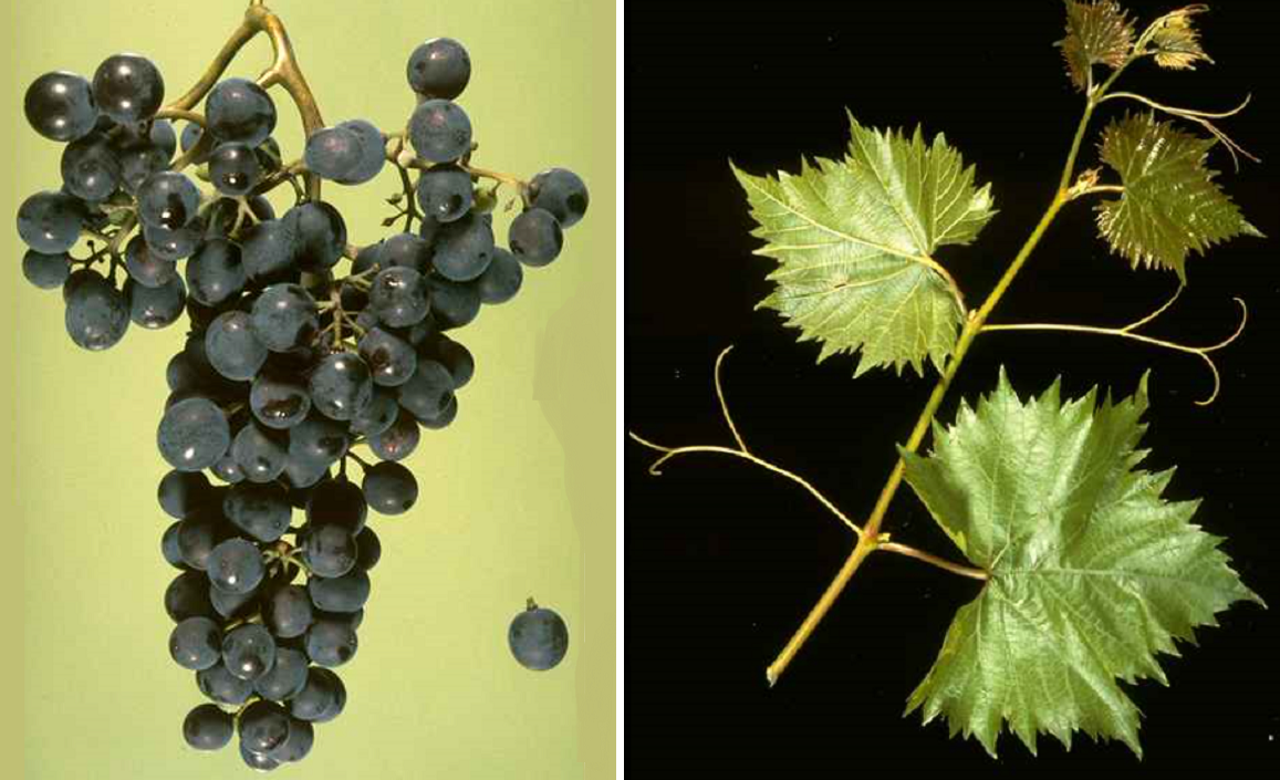 Chambourcin - grape and leaf