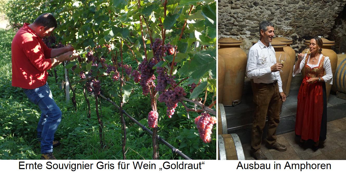 Zollweghof - Ernte Souvignier Gris für Goldraut - Ausbau in Amphoren