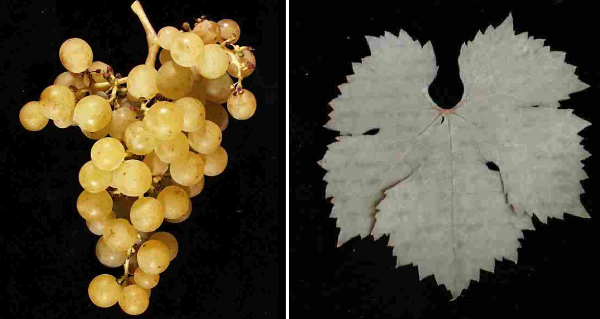 Irsai Olivér - grape and leaf