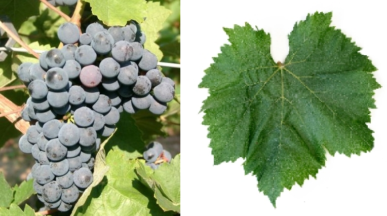 André - grape and leaf