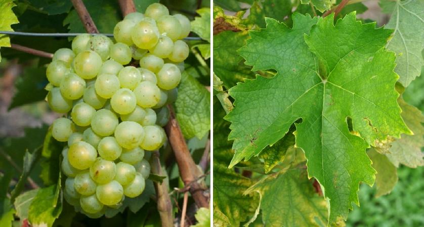 Fish grape - grape and leaf