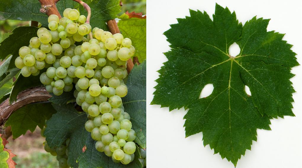 Malvasia Bianca Lunga (Prosecco Nostrano) - grape and leaf
