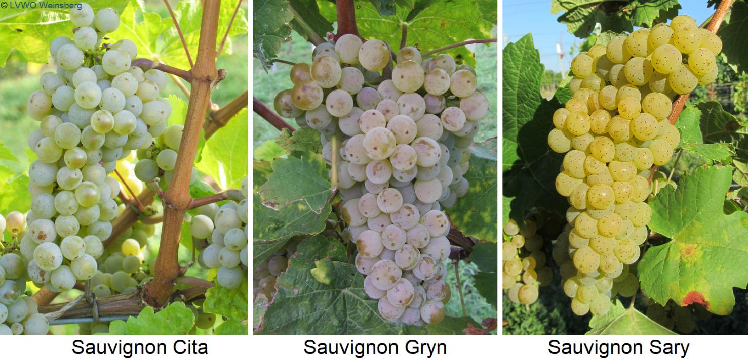 Grapes Sauvignon Cita, Sauvignon Gryn, Sauvignon Sary