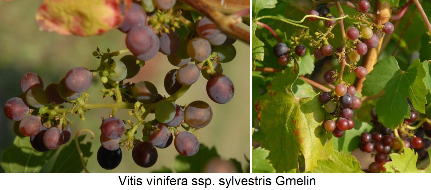 European vine - Vitis vinifera ssp. sylvestris