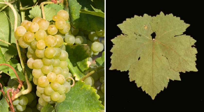 Nutmeg Ottonel - grape and leaf