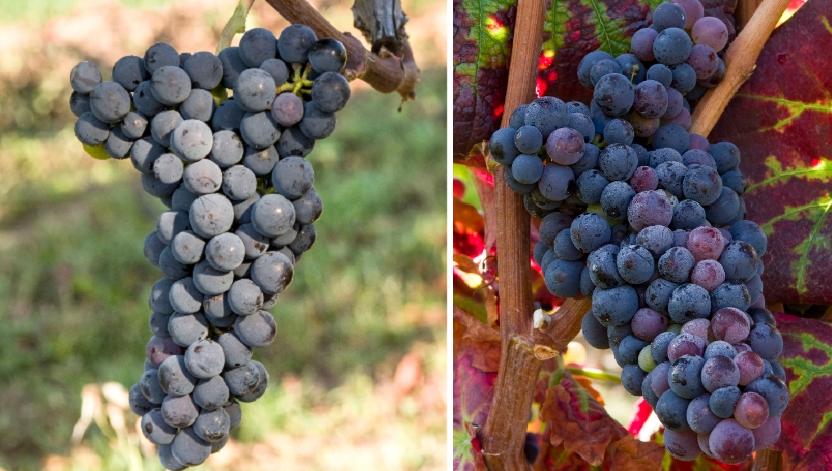 Csókaszölö - Weintraube und Blatt