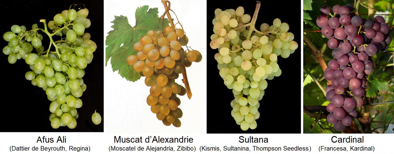 Table grapes - Afus Ali, Muscat d'Alexandrie, Sultana, Cardinal