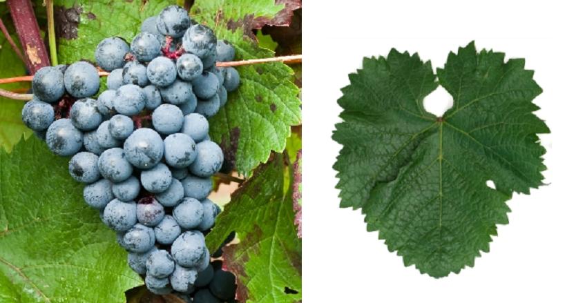 Golubok - Weintraube und Blatt