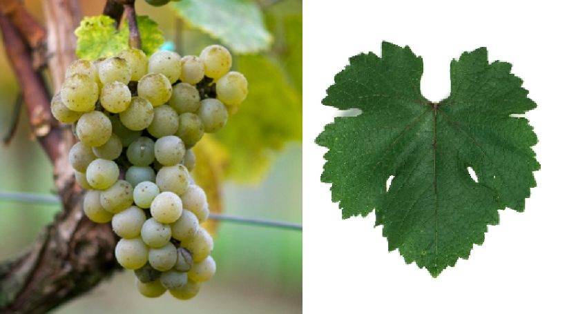 Petra - grape and leaf