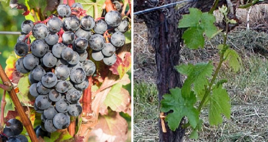 Petit Bouschet - grapes and leaves