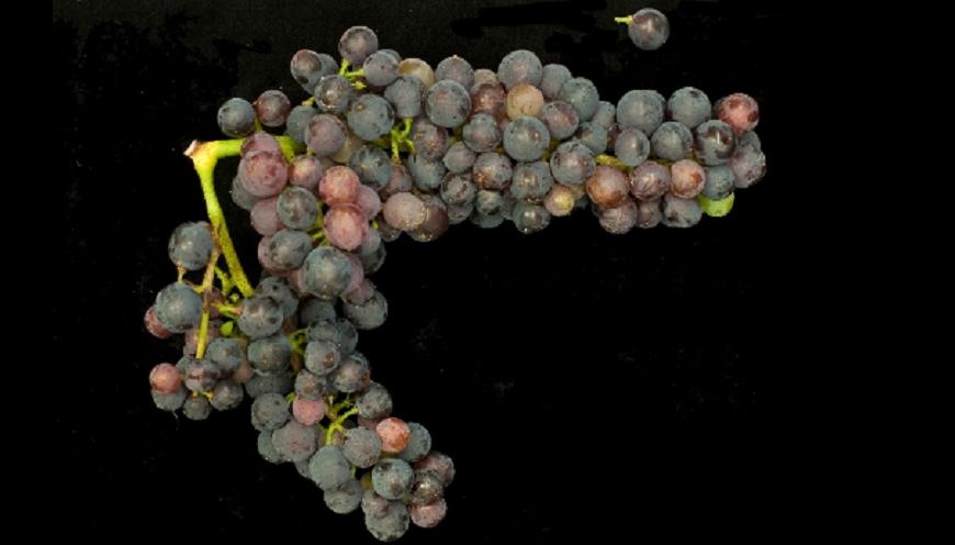 Lasina - grape